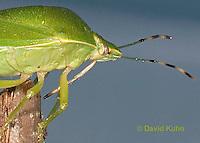 0827-07pp  Green Stink Bug rostrum detail - Acrosternum hilare - © David Kuhn/Dwight Kuhn Photography