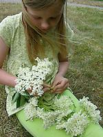 Mädchen, Kind bastelt einen Blütenkranz aus Holunderblüten, erntet Holunder-Blüten, Holunderblütenernte, Schwarzer Holunder, Sambucus nigra, Fliederbeeren, Fliederbeere, Common Elder, Elderberry, Sureau commun, Sureau noir