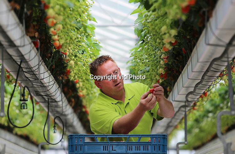 Foto: VidiPhoto<br /> <br /> DOORNENBURG - Aardbeienteler Arno de Beijer uit het Gelderse Doornenburg plukt woensdag de eerste serieuze aantallen Elianny aardbeien, ook wel het &quot;smaakkanon van het voorjaar&quot; genoemd. Al wekenlang lopen consumenten door het vroege voorjaar bij de Betuwse teler de deur plat om aardbeien. Nu is het dan zover. Voor de Elianny's van De Beijer komen klanten zelfs het het Westen van Nederland. &quot;Mijn aardbeienautomaat wordt compleet geplunderd.&quot; Aardbeien zijn mede populair omdat ze stoffen bevatten die voor een euforisch gevoel zorgen en libido-verhogend zijn.