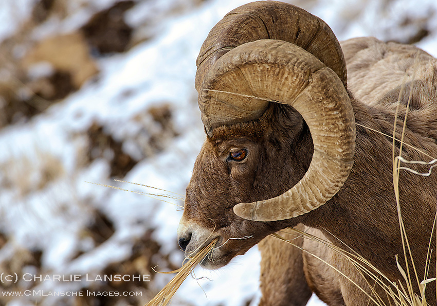 Wintering bighorn ram feeds on dry grass in the Lamar Valley of Yellowstone National Park.