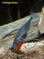 1S22-517z  Male Threespine Stickleback shaping nest by pushing plant materials with it mouth, mating colors showing bright red belly and blue eyes,  Gasterosteus aculeatus,  Hotel Lake British Columbia