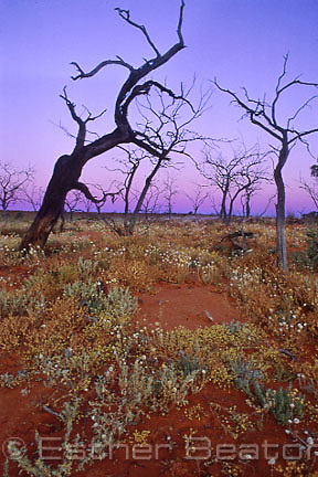 Dead mulga trees (Acacia aneura) from previous arid seasons. Simpson Desert, Queensland.