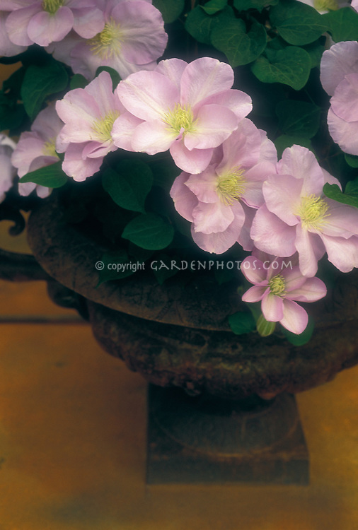 Clematis 'Vivienne Beth Curie' in container pot planter, pink flowers vine