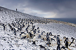 Nesting colony of Adelie Penguins in fresh snow (Pygoscelis adeliae), Cape Crozier, Antarctica.