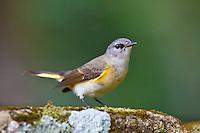 American Redstart female, Quirigua, Guatemala