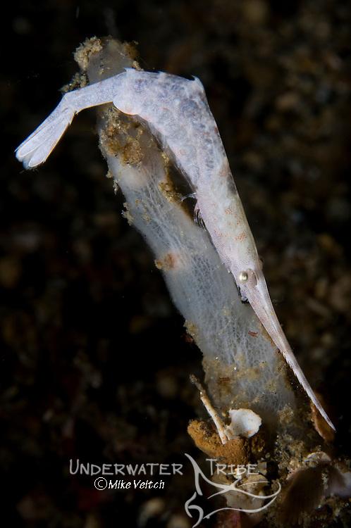 White ocellated tozeuma shrimp, tozeuma lanceolatum,  Lembeh Strait, Manado, North Sulawesi, Indonesia, Pacific Ocean