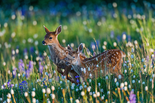 Twin Columbian black-tailed deer (Odocoileus hemionus columbianus) fawns walking through subalpine meadow covered with wildflowers.  Early morning, Pacific Northwest.  Summer.