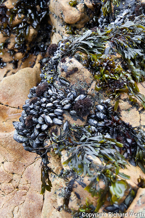Mussels hold fast to the rocks and wait for the tide to return at Pescadero State Beach.