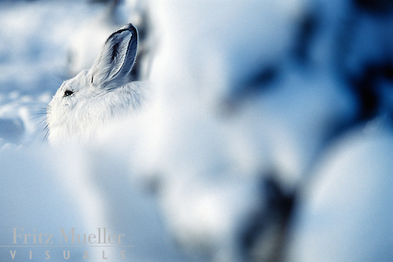 Snowshoe hare hides in winter