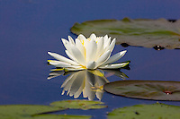 American white water-lily