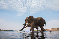 Two big elephant bulls arriving at the Chobe River for a drink