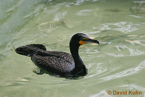 0111-0983  Swimming Double-crested Cormorant, Phalacrocorax auritus  © David Kuhn/Dwight Kuhn Photography