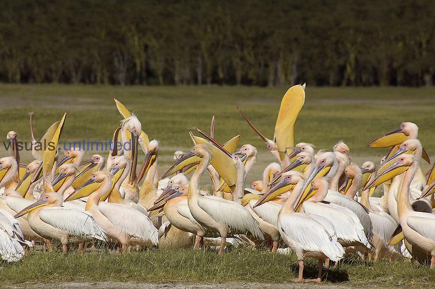 Great White Pelican flock standing on land (Pelecanus onocrotalus), Kenya.