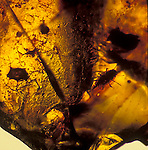 Iinsect fossil in amber
