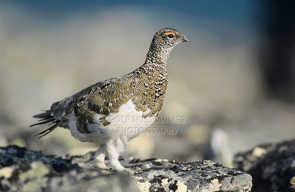 Rock Ptarmigan, Lagopus mutus, male Spring plumage, Gednjehogda, Norway, June 2001