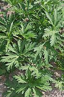 Wiesen-Storchschnabel, Blatt, Blätter vor der Blüte, Wiesenstorchschnabel, Storchschnabel, Geranium pratense, Meadow Cran´s Bill