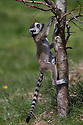16/05/16<br /> <br /> &quot;I'll just try going up a few steps...&quot;<br /> <br /> Three baby ring-tail lemurs began climbing lessons for the first time today. The four-week-old babies, born days apart from one another, were reluctant to leave their mothers&rsquo; backs to start with but after encouragement from their doting parents they were soon scaling rocks and trees in their enclosure. One of the youngsters even swung from a branch one-handed, at Peak Wildlife Park in the Staffordshire Peak District. The lesson was brief and the adorable babies soon returned to their mums for snacks and cuddles in the sunshine.<br /> All Rights Reserved F Stop Press Ltd +44 (0)1335 418365