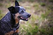 Chien bleu calédonien ou Cattle Dog