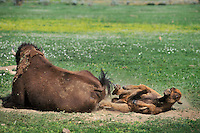 Bison cow and calf (Bison bison). Calf is dust bathing or wallowing, Western U.S., June.