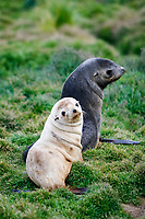 Antarctic fur seal, Arctocephalus gazella, aka Kerguelen fur seal, rae, leucistic pup, playing in the grass with normally dark-colored pup, Stromness Bay, South Georgia, Atlantic Ocean
