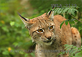 Carl, ANIMALS, wildlife, photos(SWLA2139,#A#)