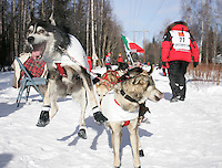 While taking a short break along the trail during the ceremonial start, Fabrizio Lovati's lead dog is leaping to go.    2008 Iidtarod Sled Dog Race.