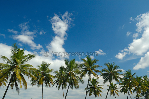 India, Kerala, backwaters. Palm trees, blue sky and white clouds in the Backwaters. No releases available.