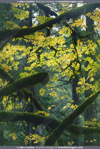 Beautiful tranquil fall nature scenery of mossy tree branches and colorful yellow autumn foliage in the background. Vancouver Island, British Columbia, Canada. Image © MaximImages, License at https://www.maximimages.com