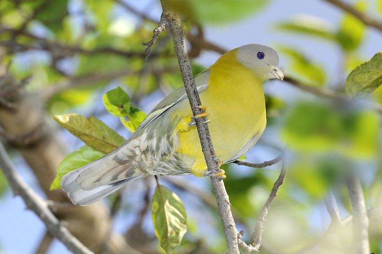Yellow-footed Green-pigeon - Treron phoenicoptera
