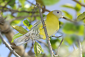 Yellow-footed Green-pigeon - Treron phoenicoptera