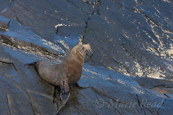 New Zealand Fur Seal (Arctocephalus forsteri), Admiral's Arch, Flinders Chase National Park, Kangaroo Island, Australia