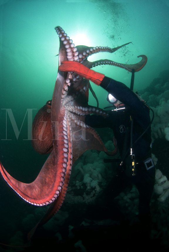 This diver (MR) with the largest species of octopus in the world, the giant Pacific octopus Octopus dolfleini. Whidbey Island, Washington, USA.