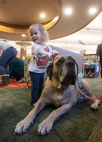NWA Democrat-Gazette/BEN GOFF @NWABENGOFF<br /> Sloane Lomax, 2, of Rogers, pets Zaida, a trained therapy dog, Saturday, Jan. 5, 2019, during a program at the Bentonville Public Library. Zaida, with handler Tricia Jennings of Gravette, is one of three therapy dogs that alternates visits to the library for Saturday morning reading programs. The programs encourage children to develop reading skills by reading aloud ot the therapy dogs.