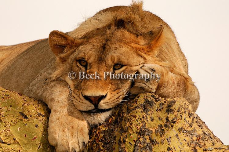 Africa Serengeti  lion
