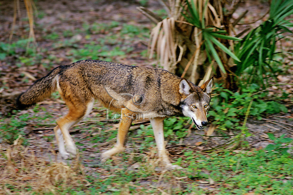 Red Wolf (Canis rufus) in endangered species breeding program (U.S. Fish & Wildlife), Florida.