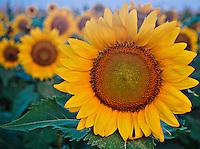 Sunflower field near Agricenter in Memphis, TN.