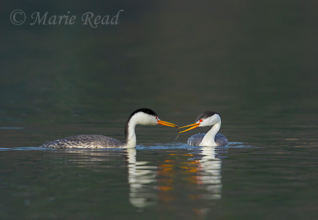Clark's Grebes (Aechmophorus clarkii) pair, male feeding a fish to its mate (=allofeeding), an activity that intensifies as egg-laying approaches, Escondido, California, USA
