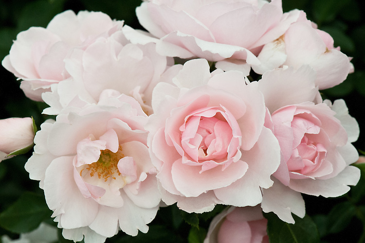 Rosa Many Happy Returns ('Harwanted'), early July. A floribunda rose with pale blush-pink, semi-double flowers.