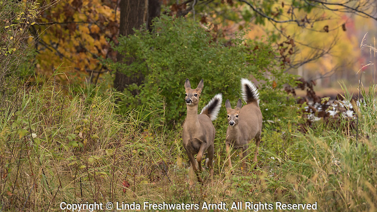 Alarmed white-tailed deer running in an autumn field.