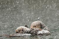 Alaskan or Northern Sea Otter (Enhydra lutris) mom and pup during snowstorm. Pup is nursing.  Alaska.