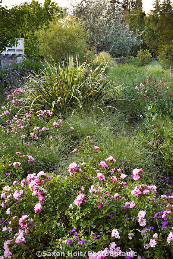 Shrub roses with perennials Phormium and Centranthus , in California back yard meadow garden, design Richard McPherson