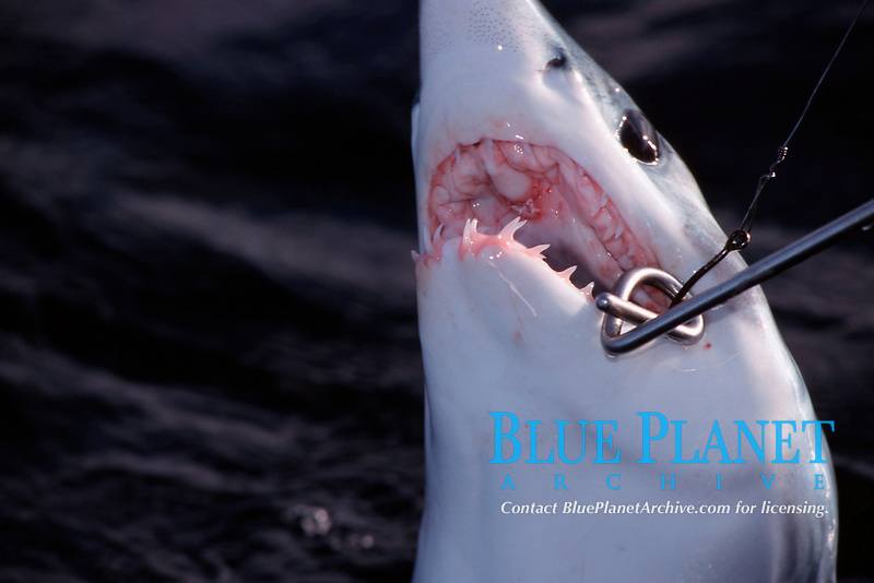 release of shortfin mako shark, Isurus oxyrinchus, using Burns Salt Water Release Stick, Redondo Beach, California, USA, Pacific Ocean