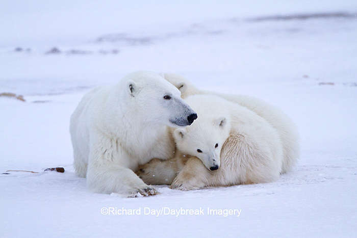 01874-12703 Polar bears (Ursus maritimus)  mother and 2 cubs  in winter, Churchill Wildlife Management Area, Churchill, MB Canada
