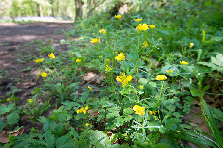 Goldilocks Buttercup - Ranunculus auricomus , Stoke Woods, Bicester, Oxfordshire owned by the Woodland Trust