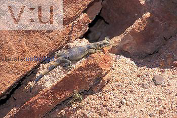 Young Chuckwalla ,Sauromalus obesus, basking in the sun; thermoregulation