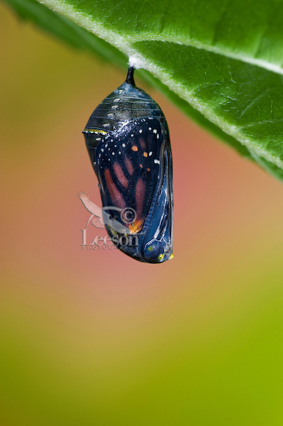 MONARCH BUTTERFLY (Danaus plexippus) chrysalis becomes transparent at end of pupal stage of its life cycle, showing a glimpse of the adult butterfly that will emerge within hours.  Summer, Nova Scotia, Canada. Series: 1 of 8 images.