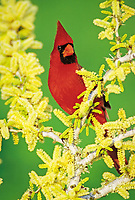 northern cardinal, Cardinalis cardinalis, male on blooming blackbrush acacia, Acacia rigidula, Lake Corpus Christi, Texas, USA, North America