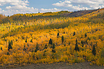 A grove of golden aspen trees during autumn, jeffery pines; at the crest of the Sierra Nevada