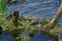 Northern River Otter (Lontra canadensis) pups explore grass covered log along edge of lake while their mother hunts for food.  Western U.S., summer..