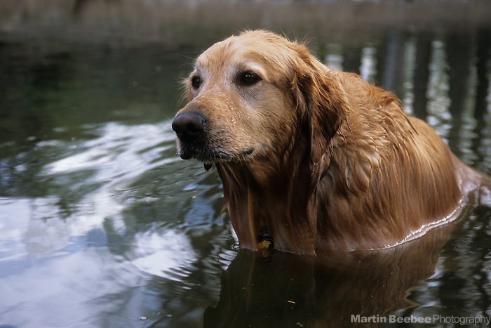 Golden retriever in creek